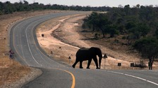 An elephant crosses the main highway connecting Botswana with Zambia.