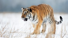 pic of tiger