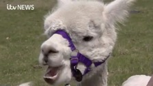 Can alpaca treks de-stress you? We check one out