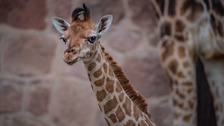 A baby Rothschild's giraffe at Chester Zoo