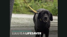 Meet Lulu the life-saving Labrador giving blood to help other pets