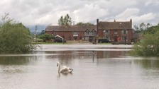 Swan on flood plain