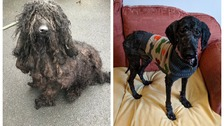 Dog abandoned with 5kg of matted fur rescued by the RSPCA