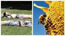 (L) Office workers in London enjoying the hot weather (R) Bee gathering pollen from a sunflower.
