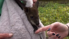 Riley the baby wallaby is being hand-reared in a rucksack after his mum died.