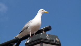 'Disabled badge' driver mows down flock of seagulls in Taunton