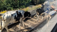 Rail disruption after herd of cows struck by train
