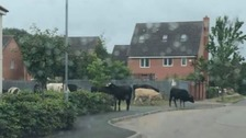 Herd of 20 cows on the loose in Loughborough