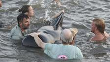 Beachgoers help stranded whales by pushing them back out to sea