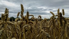 Grey skies over a wheat field