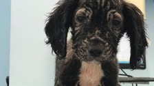 Four nearly bald puppies dumped in a garden in Surrey
