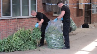Officers seized around 1,000 plants.