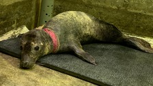 Gypsy the seal was found with rope net caught around her neck.