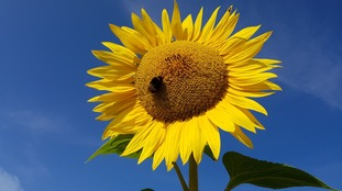 A sunflower in the sunshine