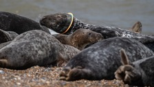 Four more injured seals found on the Norfolk coast