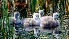 Cygnet killed by dog at nature reserve