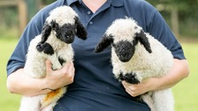 'Cutest sheep in the world' twins born in Pembrokeshire