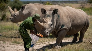 Fatu and Najin are fed some carrots by a ranger in their enclosure at Ol Pejeta Conservancy, Kenya.
