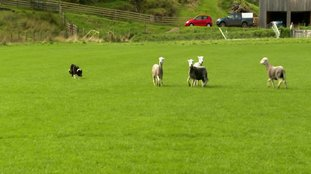 sheep dog herds
