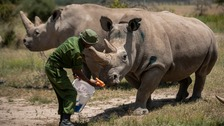 Eggs from last northern white rhinos fertilised - now wait begins