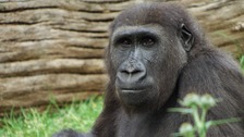 Newborn gorilla dies after emergency Caesarean