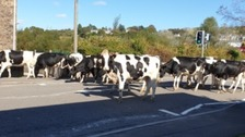 On the mooove: Herd of cows spotted walking through residential area