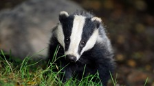 Badger cull 'is reducing outbreaks of TB in cattle'