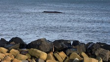 Whale that beached off the Northumberland coast has died