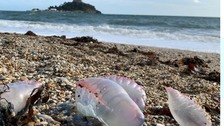 Venomous Portuguese Man-of-War wash up on Cornish beaches