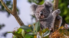 Longleat koalas at centre of genetic breakthrough to save species