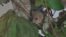 Endangered dormouse rescued from recycling bin