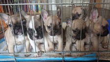 Four French bulldog puppies stolen in Clacton raid