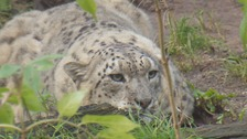 New £1m home being built for snow leopards at north Wales zoo