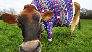 Jersey cows get into Christmas spirit with festive jumpers