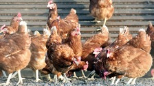 27,000 chickens to be culled after cases of bird flu detected