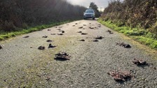 Mystery surrounds death of hundreds of starlings on Anglesey