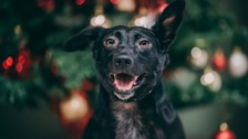 Rescue dog with winning over hearts in Christmas campaign