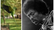 Scientists debunk myth parakeets were brought to UK by Hendrix