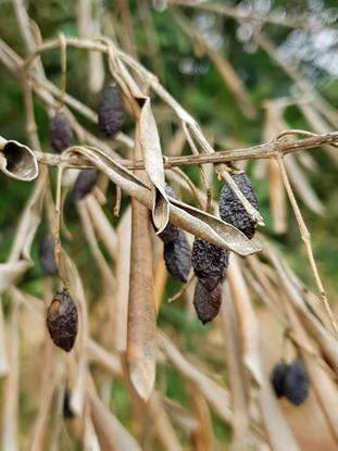 Xylella causes plant die-back and death