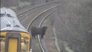 A Highland cow on the railway line at Pollokshaws West