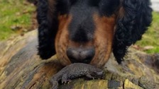 Flintshire dog detecting rare newt species is 'world's first'