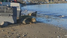 Rescued seal pups released after being nursed back to health