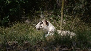 The government has set up the white tiger safari in Mukundpur, Rewa to continue the legacy.