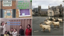 Roaming goats and Les Mis songs: The funnies amid lockdown