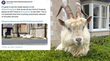 Police tell people not to visit Llandudno goats as 'not essential travel'