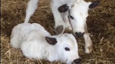 Newborn calves 'connect people with nature' during lockdown