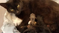 Luna, a black cat, lying down and looking at the camera,and her five kittens snuggled up to her