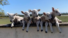 Ewe defies million-to-one odds by giving birth to five lambs