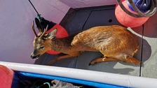 The deer was caught at see off the Cornish coast.