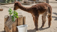 Zookeepers give alpaca a lockdown haircut to keep him cool